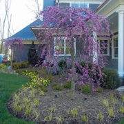 2016-04-15 (11) Weeping Redbud-Cercis canadensis var texensis 'Traveller'